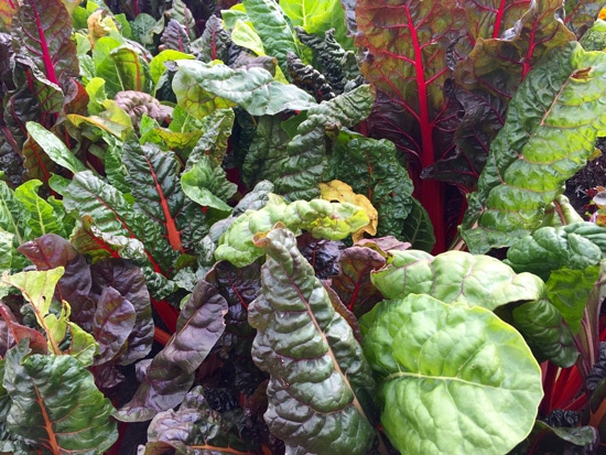 Rainbow Swiss Chard Ornamental Vegetable Plants