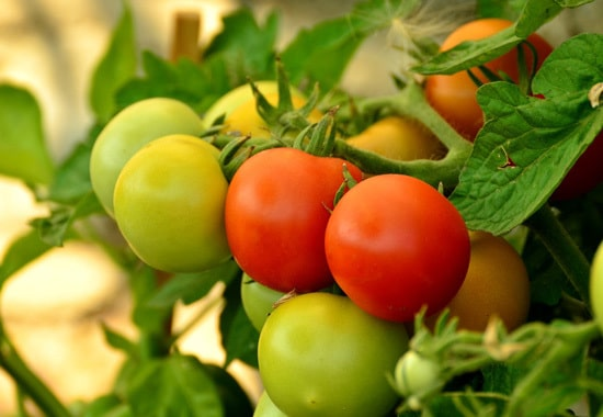 Tomatoes Ornamental Vegetable Plants