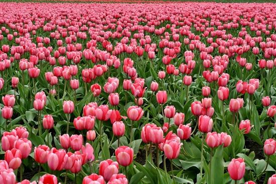 Tulip Pink Perennials
