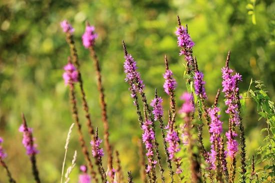 Veronica Spicata or Red Fox Pink Perennials