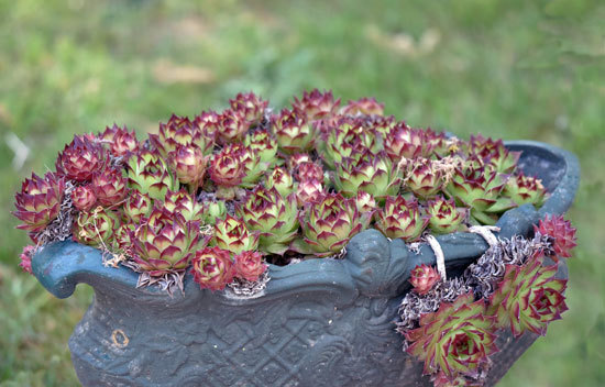 Hens and Chicks Most Popular Indoor Succulents