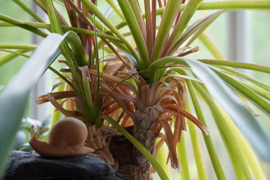 Ponytail Palm Most Popular Indoor Succulents