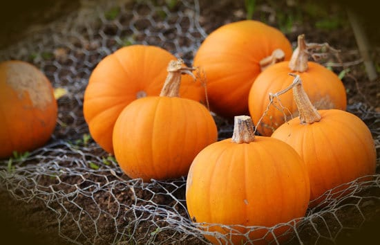Small Sugar Pumpkin Small Pumpkin Varieties You Can Easily Grow
