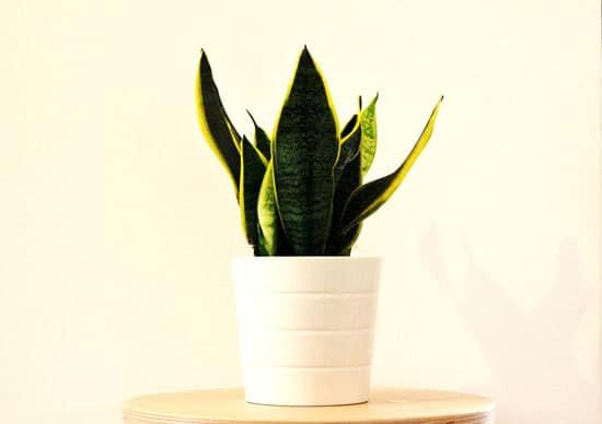 Snake Plant Most Popular Indoor Succulents