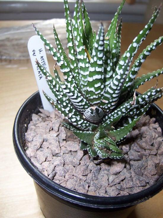 Zebra Haworthia Most Popular Indoor Succulents