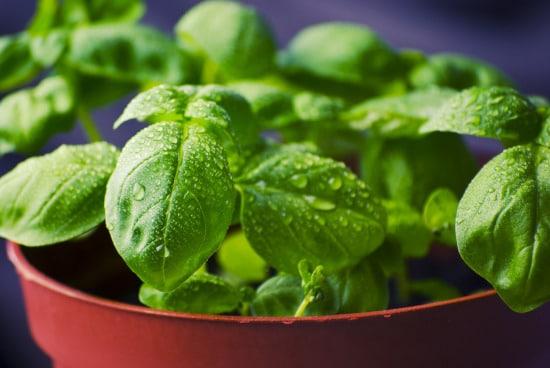 Basil Small Vegetable Plants