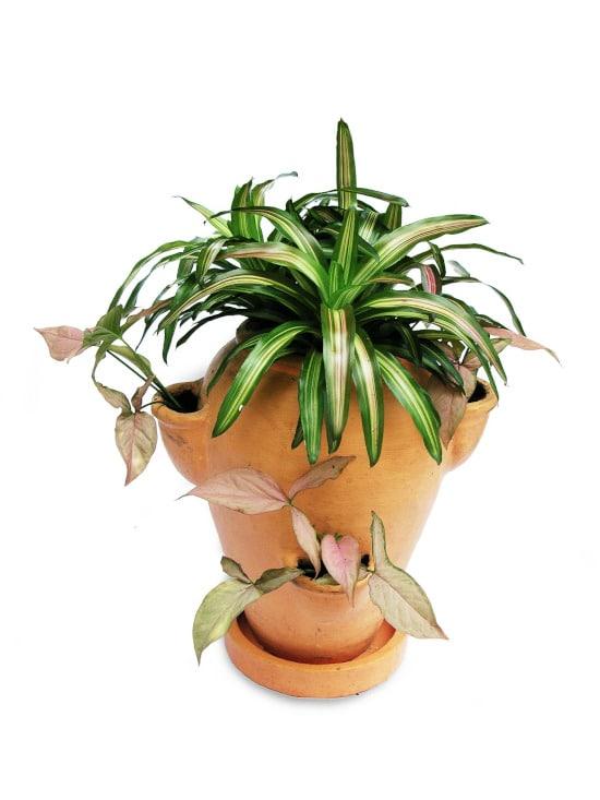 Bromeliad Striped Houseplants
