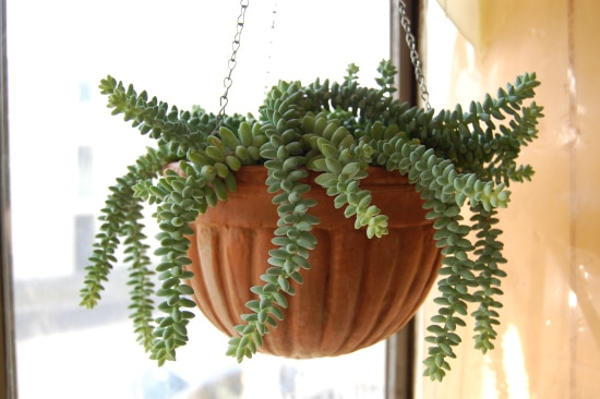 Burros Tail or Donkeys Tail Quirky And Unusual Plants