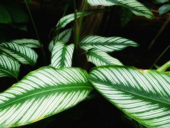 Calathea or Zebra Plant Striped Houseplants