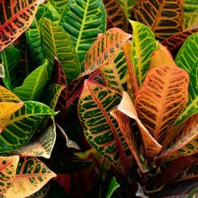 Croton Striped Houseplants