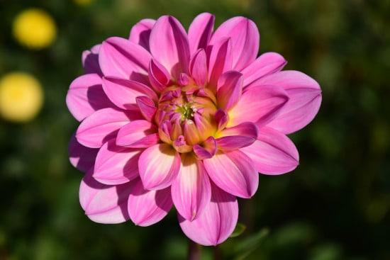 Dahlia Star Shaped Flowers
