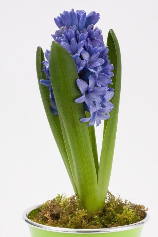 Hyacinth Blue Star Star Shaped Flowers