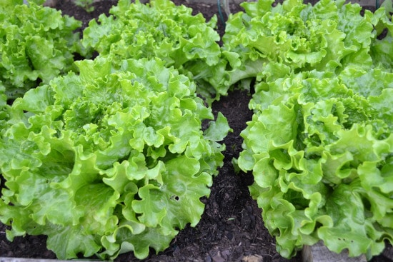 Lettuce Small Vegetable Plants