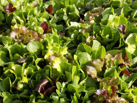 Mesclun Mixes Small Vegetable Plants