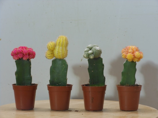 Moon Cactus Quirky And Unusual Plants