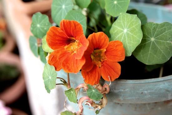 Nasturtium Small Vegetable Plants