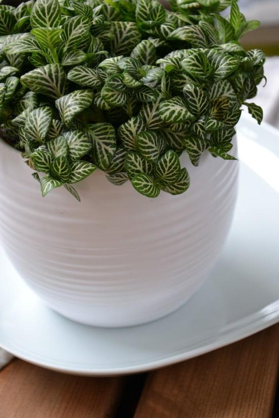 Nerve Plant Striped Houseplants