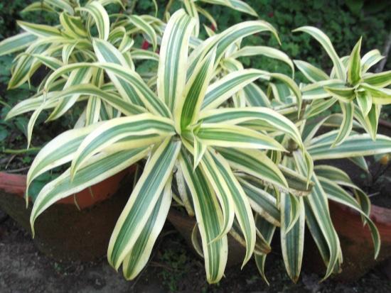 Pleomele or Dracena Striped Houseplants