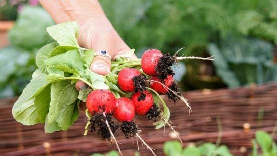 Radish and Turnip Small Vegetable Plants