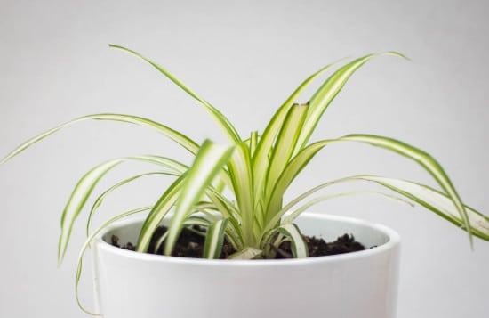 Spider Plant Striped Houseplants