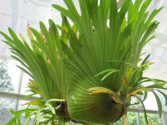 Staghorn Fern Quirky And Unusual Plants