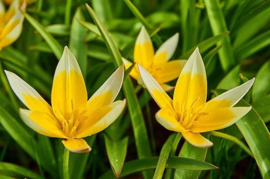 Star Tulip Star Shaped Flowers