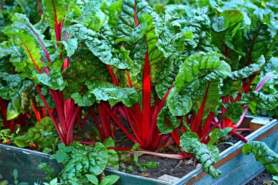 Swiss Chard Small Vegetable Plants