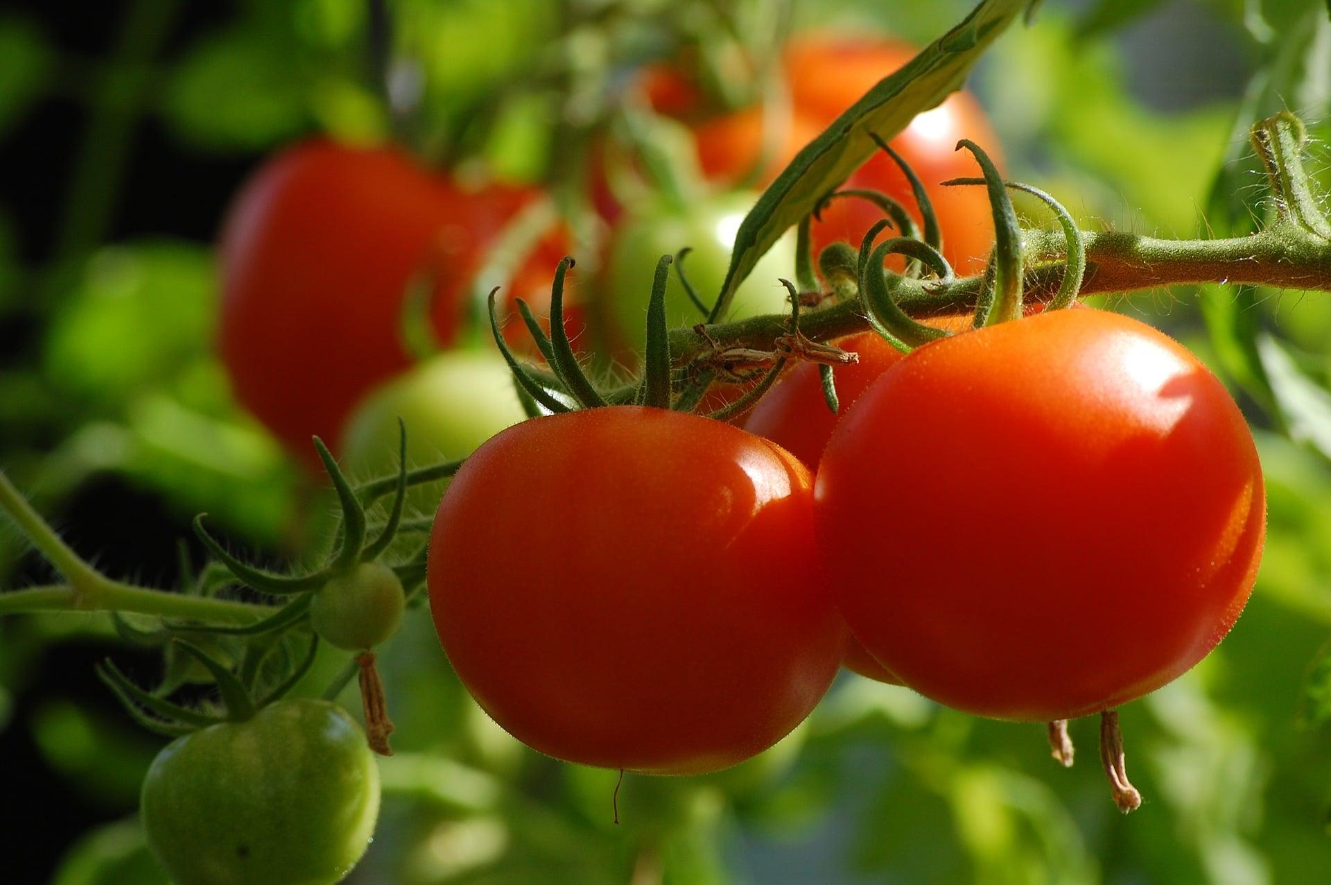 Tomato Small Vegetable Plants