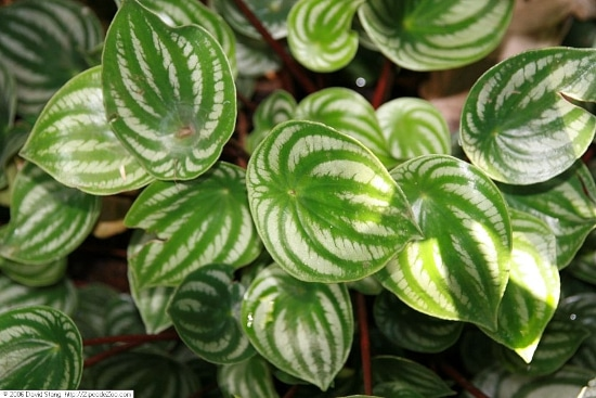 Watermelon Peperomia Quirky And Unusual Plants