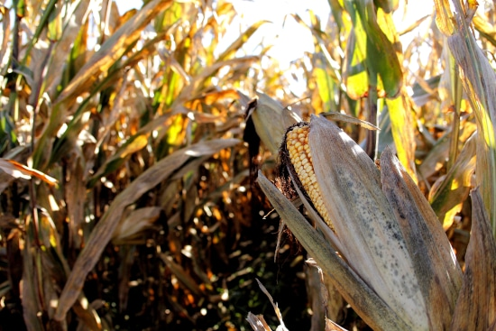 When Is Corn Ready To Pick Dry Harvesting