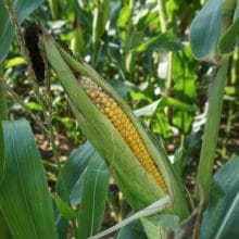 When Is Corn Ready To Pick Milk stage harvesting