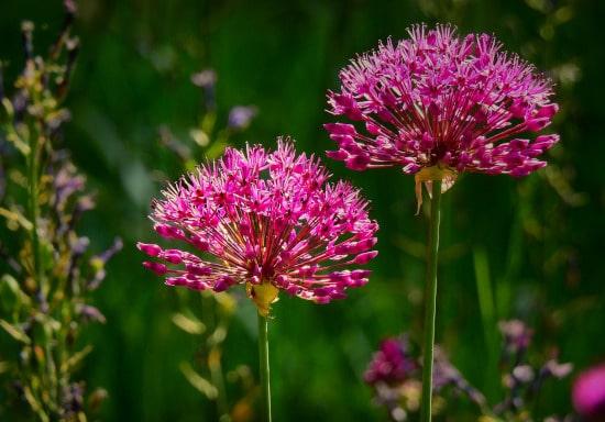 Allium Bright Summer Blooming Perennial Flowers