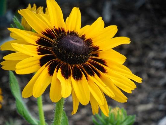 Black Eyed Susan Bright Summer Blooming Perennial Flowers