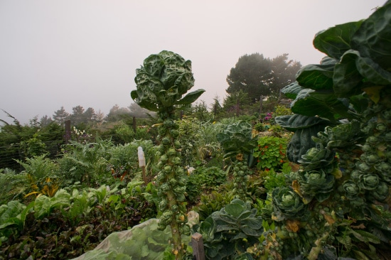 Brussels Sprouts Tall Vegetable Plants
