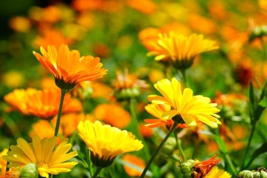 Calendula Winter Flowering Annuals