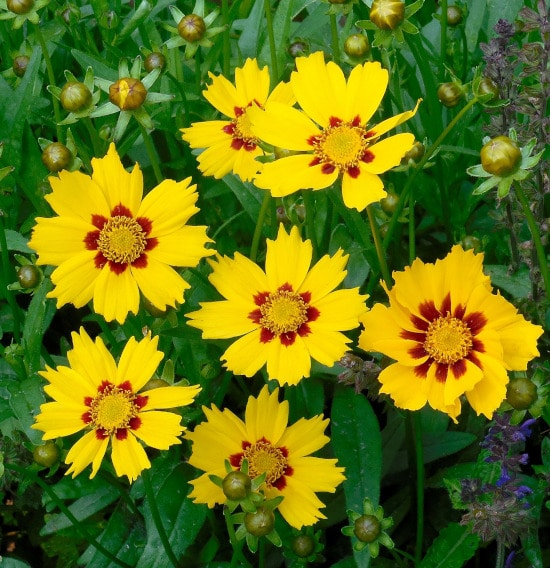 Coreopsis Bright Summer Blooming Perennial Flowers