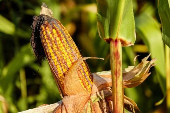 Corn Tall Vegetable Plants