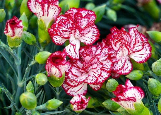 Dianthus Winter Flowering Annuals