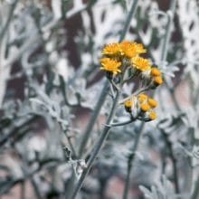 Dusty Miller Winter Flowering Annuals