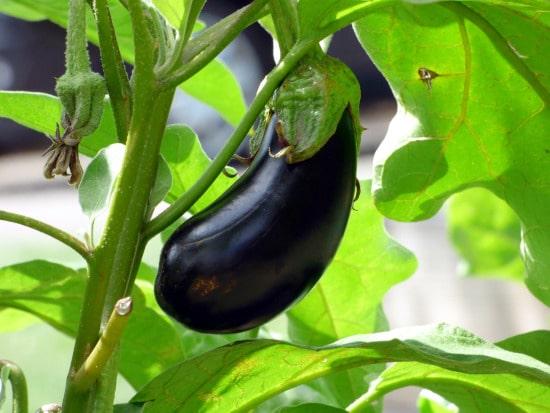 Eggplant Tall Vegetable Plants