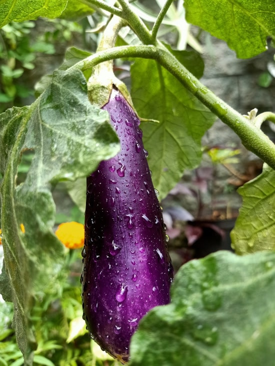 Eggplant What Is the Healthiest Vegetable