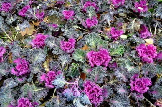 Flowering Kale Winter Flowering Annuals