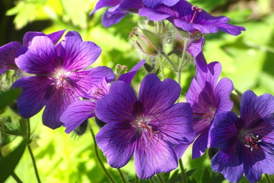 Geranium Bright Summer Blooming Perennial Flowers