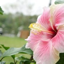 Hardy Hibiscus Bright Summer Blooming Perennial Flowers
