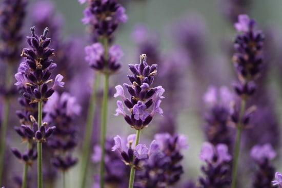 Lavender Bright Summer Blooming Perennial Flowers