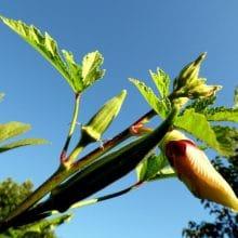 Okra Tall Vegetable Plants