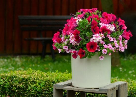 Petunia Winter Flowering Annuals