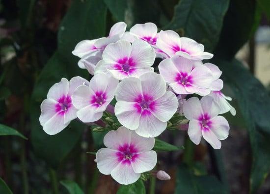Phlox Bright Summer Blooming Perennial Flowers