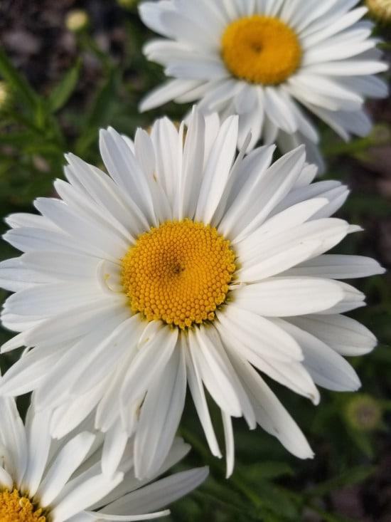 Shasta Daisy Bright Summer Blooming Perennial Flowers