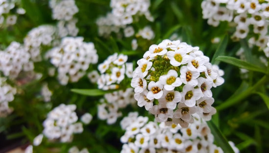 Sweet Alyssum Winter Flowering Annuals